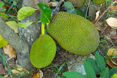 Jackfruit was on ground in garden Stock Photography