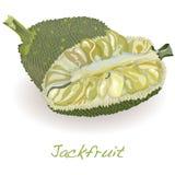Jackfruit wektor ilustracji
