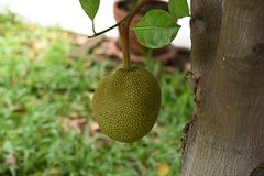Jackfruit. A young jackt with green , leathery and prickly skin that  can reach the weight of up to 100 pounds Royalty Free Stock Photography