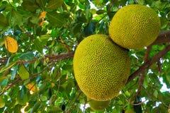Jackfruitboom Royalty-vrije Stock Foto