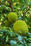 Jackfruitboom Royalty-vrije Stock Fotografie