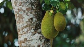 Jackfruitboom stock videobeelden