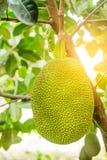 Jackfruitboom en jonge Jackfruits stock foto's