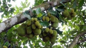 Jackfruiten på trädet arkivfoton