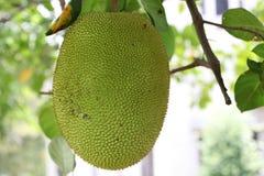 Jackfruitfrukt Royaltyfri Fotografi