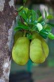 Jackfruitfrukt som hänger på trädet Arkivfoton