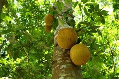 Jackfruitplantage in Thailand Stockfotografie