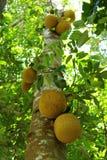 Jackfruitplantage in Thailand Lizenzfreie Stockfotos
