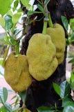 Jackfruits σε ένα δέντρο Στοκ Εικόνες