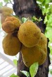 Jackfruits σε ένα δέντρο Στοκ εικόνα με δικαίωμα ελεύθερης χρήσης