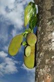 jackfruits ώριμος Στοκ φωτογραφία με δικαίωμα ελεύθερης χρήσης