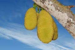 jackfruits ώριμος Στοκ Εικόνες