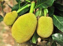jackfruits Στοκ Εικόνα