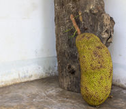 Jackfruits beside Royalty Free Stock Image