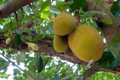 Jackfruits foto de stock royalty free