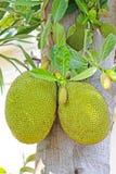 Jackfruits Foto de archivo libre de regalías