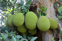 Jackfruits fotografia stock