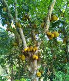 Jackfruits fotos de stock royalty free