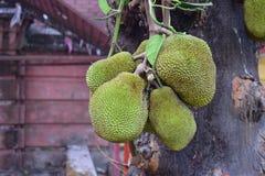 Jackfruits, die am Baum h?ngen stockbilder