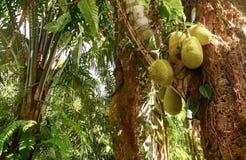Jackfruits en un árbol Fotos de archivo libres de regalías