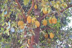 Jackfruits hanging on Jack Tree - Artocarpus Heterophyllus. This is a photograph of large number of jackfruits hanging on a jack tree - Artocarpus Heterophyllus Stock Image