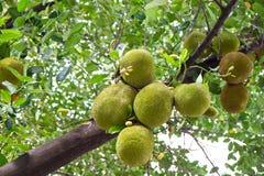 Jackfruits hanging on tree Royalty Free Stock Photo