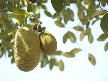 Jackfruits Stock Images