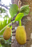 Jackfruits hanging from the trunk Stock Photography