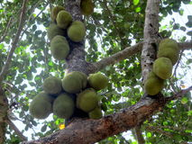 Jackfruits Stock Image