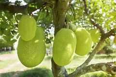 Jackfruits On the Jackfruit tree Stock Image