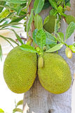 Jackfruits Royalty Free Stock Photo