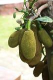Jackfruits op de boom Stock Afbeelding