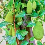 Jackfruits på ett träd Fotografering för Bildbyråer