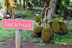 Jackfruits que penduram da árvore em uma plantação Fotografia de Stock