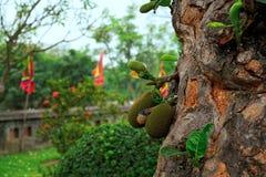 Jackfruits som v?xer p? ett tr?d med slut upp av stammen arkivfoton