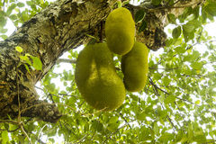 Jackfruits Stock Photo