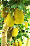 Jackfruits on tree Royalty Free Stock Image