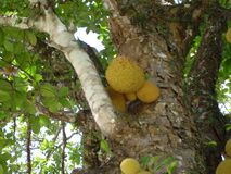 Jackfruits in a tree Royalty Free Stock Photo