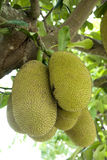 Jackfruits in the Tree Stock Photos