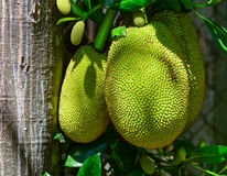 Jackfruits on the tree Royalty Free Stock Photography