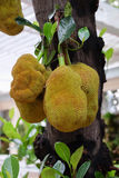 Jackfruits on a tree. The jackfruit Artocarpus heterophyllus, also known as jack tree, jakfruit, or sometimes simply jack or jak royalty free stock photography