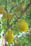 Jackfruits on tree Stock Image