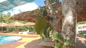 Jackfruits on Tree Near Hotel Swimming Pool with Umbrellas. Jackfruits on tree near large hotel swimming pool under net with beach umbrellas and chaise-longues stock footage