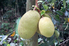 Jackfruits on the tree Royalty Free Stock Images