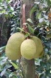 Jackfruits on the tree Stock Photo