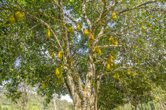 Jackfruits on the tree. Royalty Free Stock Photo