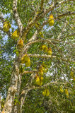Jackfruits on the tree. Stock Images