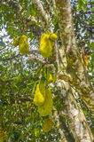 Jackfruits on the tree. Royalty Free Stock Image