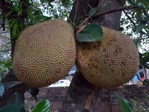 Jackfruits on a tree. Two jackfruits on a tree in the garden Stock Image