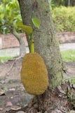 Jackfruitträd Royaltyfria Foton